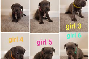 Staffordshire Bull Terrier Dogs Breed