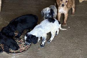 Sprocker Dogs Breed
