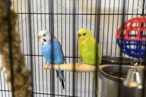 Budgerigar For Sale in the UK