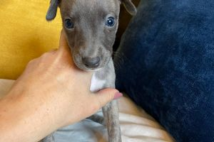Whippet For Sale in Great Britain