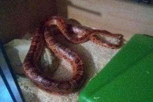Corn Snake for Rehoming