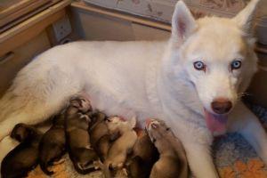 Siberian Husky Online Listings