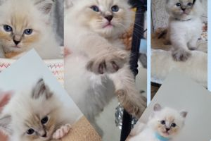 Siberian for Rehoming