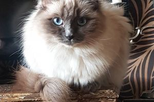 Ragdolls for Rehoming
