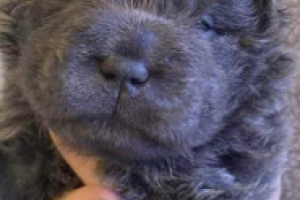 Shar Pei For Sale in the UK