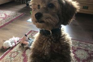 Poodle Online Listings