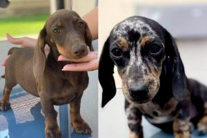 Miniature Dachshunds for Rehoming