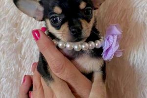 Chihuahua For Sale in Great Britain