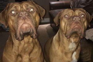Dogue De Bordeaux Dogs Breed