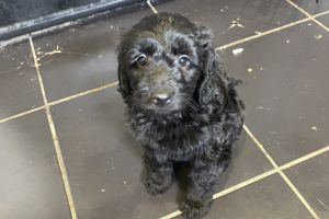 Labradoodle For Sale in Lodon