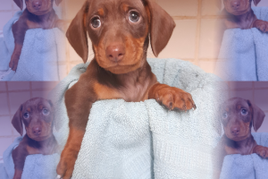 Miniature Dachshund For Sale in Great Britain