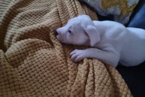 Staffordshire Bull Terrier For Sale in Lodon