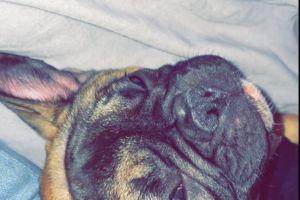 French Bulldog For Sale in Lodon
