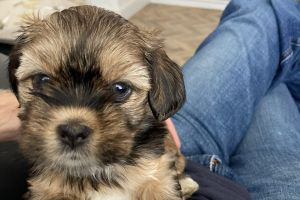 Lhasa Apso For Sale in the UK