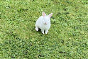 Netherland Dwarf Advertisement UK Pets