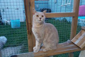 British Shorthair Cats Breed