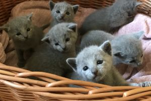 Russian Blue Online Ad