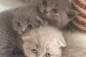 Scottish Fold Cats Breed