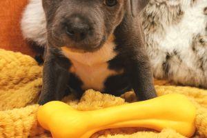 Staffordshire Bull Terrier for Rehoming