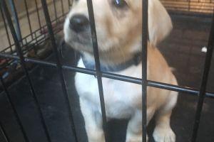 Labrador Retrievers for Rehoming