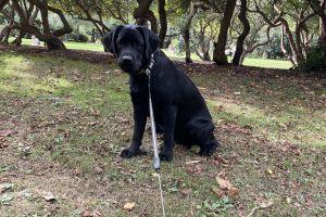 Labrador Retriever For Sale in Great Britain