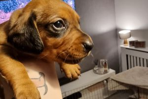 Miniature Dachshund for Rehoming