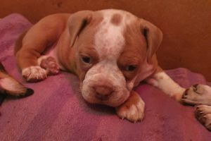 Old Tyme Bulldogs for Rehoming