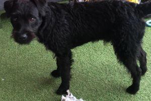 Patterdale Terrier For Sale in Lodon