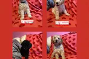 Labradoodles for Rehoming