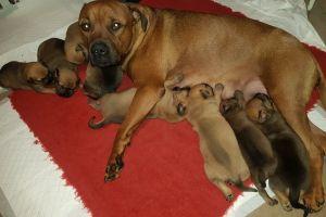 Mastiffs for Rehoming